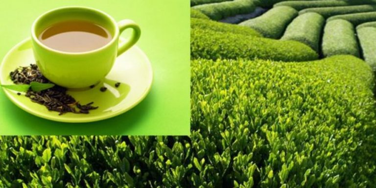 Drinking green tea reduces the risk of death from heart disease